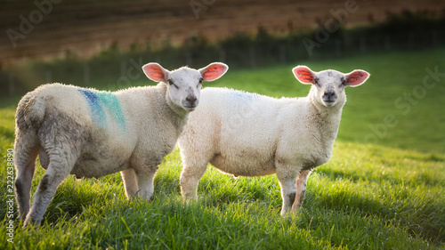 Foto Murales two sheep in a meadow staring at the camera