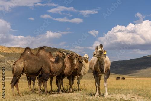 wielbłądy stado pasą się góry uśmiech