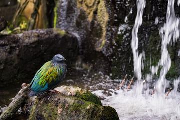 Nicobar à camail -  pigeon de Nicobar