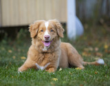 Puppy toller dog outdoor. The dog breed is Nova Scotia duck tolling retriever. The dog is 12 weeks old. - 222662074