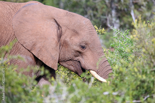 Fototapeta African Elephant