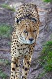 Cheetah - 222664444
