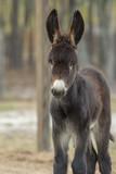 Poitou donkey foal - 222680640