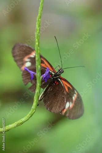 Schmetterling beim Nektar trinken - 222682837