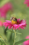Bee on a aster flower