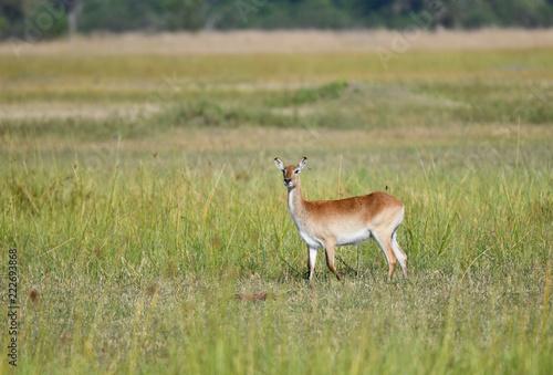 Fototapeta Lechwe Antilope
