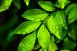 Leinwandbild Motiv Water droplets on a green leaf after rain.