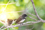 Two birds (Malaysian Pied Fantail) in nature wild - 222732438