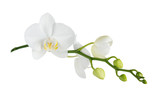 Fototapeta Storczyk - Moth orchid on white © epitavi