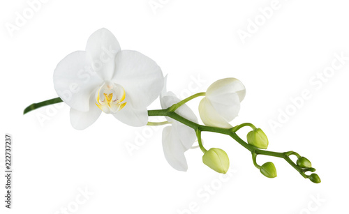 Moth orchid on white - 222737237