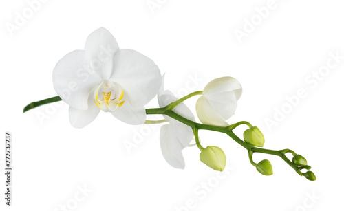 Ćma orchidea na bielu