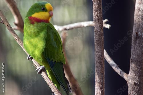 Fototapeta superb parrot