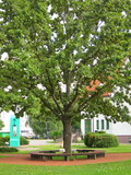 Large green oak in the summer near the medical center.