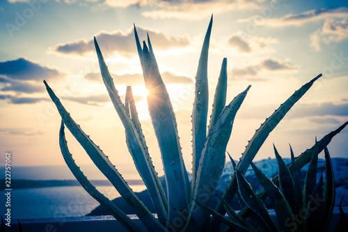 aloe cactus and sea in sunset - 222757062
