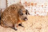 Red boar sitting - 222761656