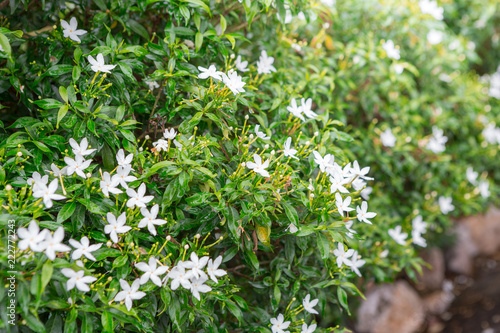 Green shrubs and small white flowers buy photos ap images green shrubs and small white flowers mightylinksfo