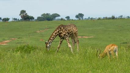 giraffe and impala eating grass in the savannah
