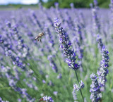 Close up of bee flying on lavender - 222785480