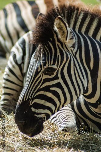 Zebra - 222786261
