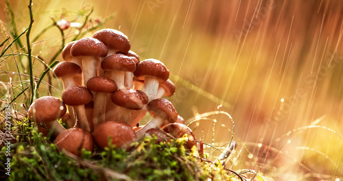Foto Murales Armillaria Mushrooms of honey agaric In a Sunny forest in the rain. Honey Fungus are regarded in Ukraine, Russia, Poland, Germany and other European countries as one of the best wild mushrooms.