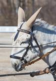Portrait eines weissen Esels vor einer Kutsche