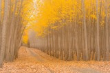 Road Drives Through a Magical Poplar Tree Forest
