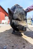 Pig in farm - 222812206