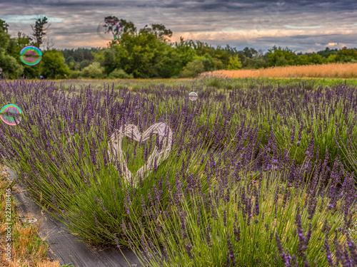Foto Murales  Lavender