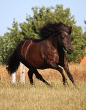 beautiful dark iceland horse is running on a paddock in the sunshine - 222819873