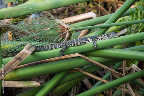 Water monitor lizard in the Okavango Delta, Botswana