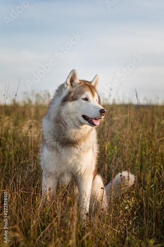 Profilowy portret bezpłatny i pyszny siberian husky pies z brown oczami siedzi w polu przy złotym zmierzchem