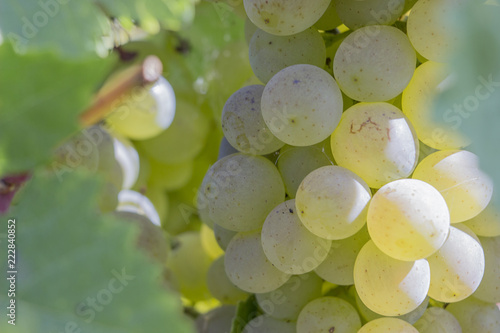 a branch of grapes on a Sunny day before harvest