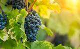 Red grapes of wine in wineyard, sunset light - 222843618