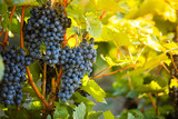 Red grapes of wine in wineyard, sunset light - 222843659