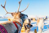 Reindeer in Northern Norway - 222852426