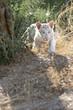 white tiger puppy