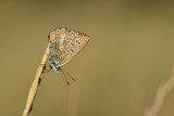 Brown Argus Butterfly, U.K. Macro image of an insects under wing.