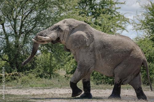 Fototapeta Elephant Bull Savuti