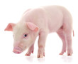 Pig on white - 222871078