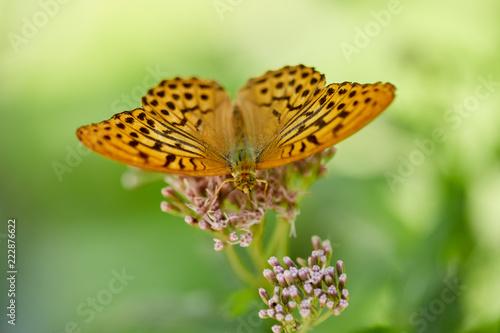 Foto Murales Butterfly on a flower