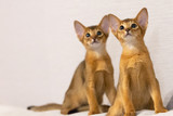 Abyssinian kittens. Ancient cat breed. Favorites of Egyptian pharaohs. In honour of the country of Abyssinia (Ethiopia). - 222878264