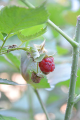Ripe branch of raspberry on bush in the garden