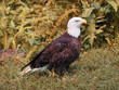 Eagle on ground with Fall-colored Leaves