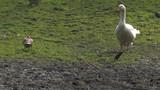 Black and white goose.Panning,Closeup,  - 222894288