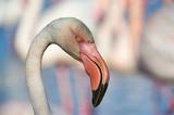 Portrait of a beautiful Flamingo