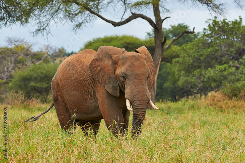 Fridge magnet African elephant (Loxodonta africana) photographed during a safari in Tanzania.