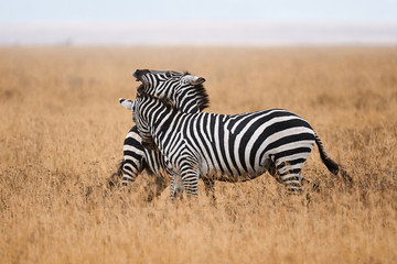 Zebras fighting in the savannah. © lucaar