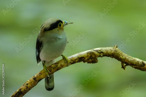 Broadbill Silver-breasted na gałęzi drzewa