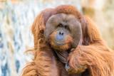 Orangutan - 222905439