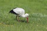 White stork (Ciconia ciconia) - 222910683
